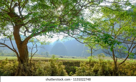 Ficus racemosa Udumbara trees on a green meadow with morning dews in valley
