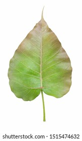 Ficus religiosa  L. Sacred Fig Tree, Pipal Tree,Structure leaf fiber pattern on white background