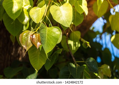 Ficus religiosa or sacred fig, Beautiful young Bo leaf with green and yellow hanging down the tree, Bodhi leaves and trunk background in sun light showing the distinctive heart-shaped leaf.