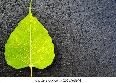 Ficus religiosa or sacred fig leaf on black floor background. It is also known as bodhi, pippala, peepal, peepul or ashwattha tree.