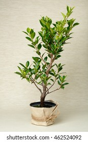 ficus retusa, tree in a pot