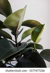 Ficus Robusta Plant on White background