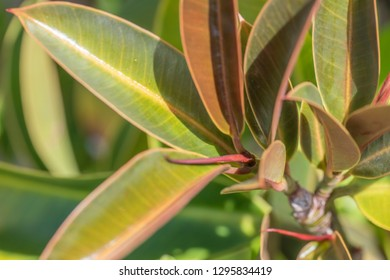 Ficus rubber, or elastic ficus (latin. Ficus elastica) close-up. Young leaves on a clear sunny day. Koh Chang Island, Thailand.