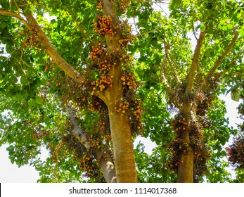 Ficus sycomorus, ficus racemosa, sycamore figs, fig-mulberry, clusters of ripe figs on tree, naturalised species in Israel