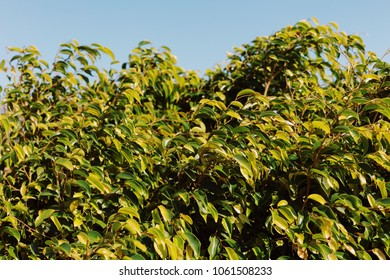 Ficus tree background with clear blue sky