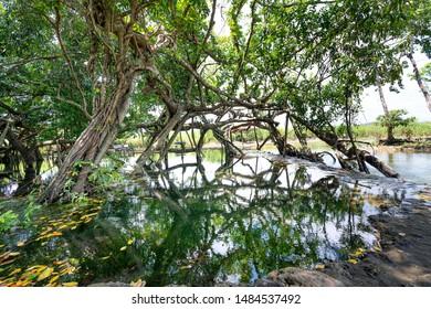 Ficus Tree , ficus benjamina in in Nam Cat Tien nature reserve in Dong Nai province, Vietnam
