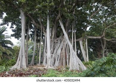 Ficus tree. gPlant in a park in Puerto de la Cruz. Northern Tenerife, Canary Islands, Spain