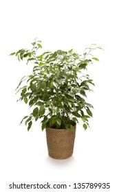 Ficus Tree/ Green, healthy ficus tree standing alone