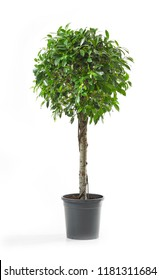 Ficus tree isolated on a white background