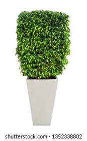 ficus tree in potted isolated