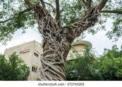 ficus tree in Tel Aviv city, Israel