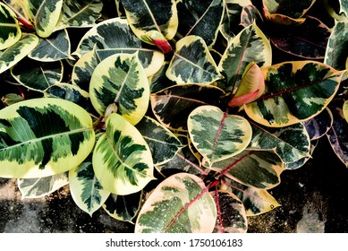 Ficus Triangularis Variegata leaf background This plant prefers full sun to partial shade with moderate watering. shallow focus.