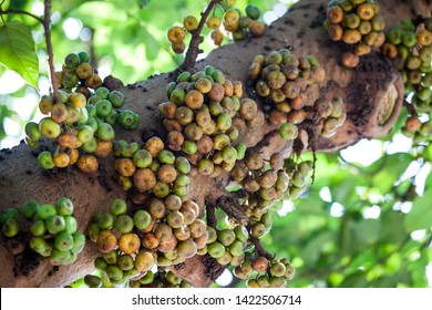 Ficus variegata fruits in tree trunk close-up