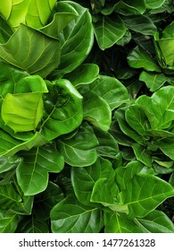 Fiddle Fig is a tropical plant in the Banyan family.(Ficus Lyrata).green nature wallpaper.Large green leaves background.