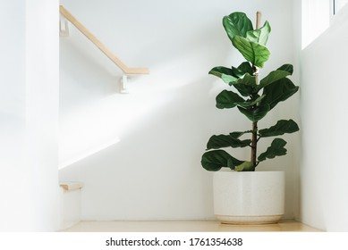 Fiddle leaf fig, Ficus lyrata, plant in circle white pot and place at the Corner of stair or ladder for decorate home or room. And there is sunlight coming from the right hand window. - Shutterstock ID 1761354638