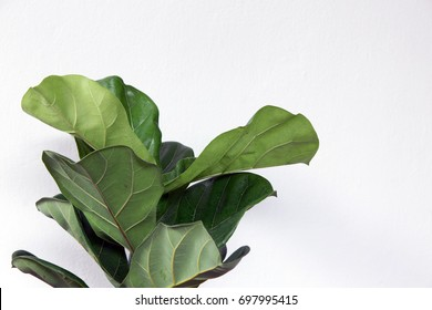 fiddle leaf fig tree on white background.