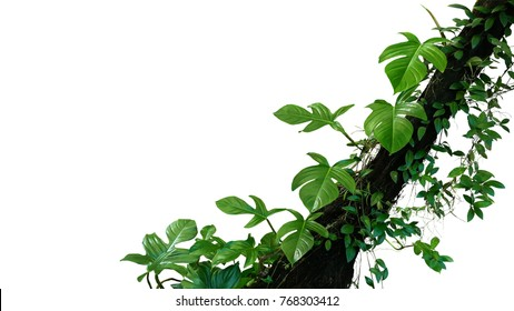 Fiddle leaf philodendron the tropical plant and jungle liana green leaves vines climbing on rainforest tree trunk isolated on white background, clipping path included.