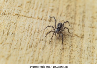 Fiddleback spider, Violin spider or Brown hermit spider (Loxosceles reclusa). Poisonous arthropod on a wooden surface. View from the top. Wildlife with selective focus.