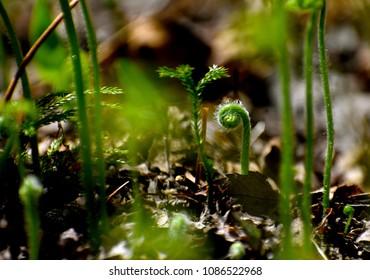 Fiddlehead fern in the sun
