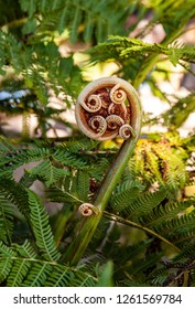 A fiddlehead fern unfurling
