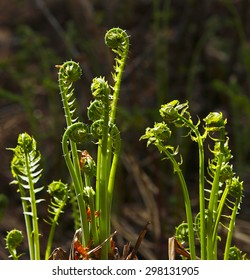 Fiddleheads in their natural environment.