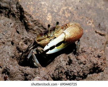 Fiddler crab crawl on muddy area in mangrove forest, Thailand
