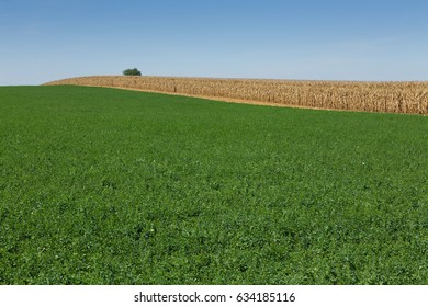 Field of alfalfa with corn field ready to harvest in background.