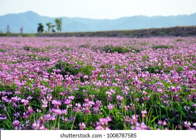 Field of alfalfa flowers (also called lucerne)