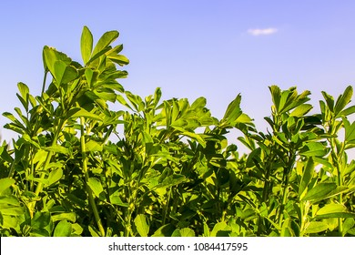Field of alfalfa in spring against the sky. Stems with leaves of the young alfalfa on field closeup. Green field of lucerne (Medicago sativa).