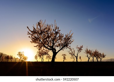 Field with almond blossoms at sunset in the region of Los Velez in Almeria, Spain