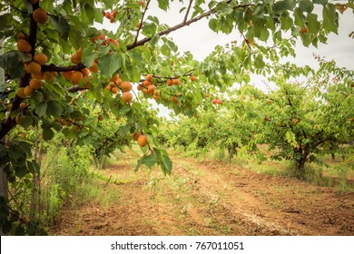 Field with apricot trees and a dirt path. Apricot orchard