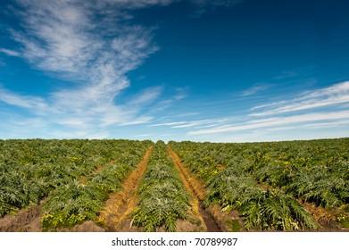 Field of artichoke plants (Cynara cardunculus) beneath a dramatic sky