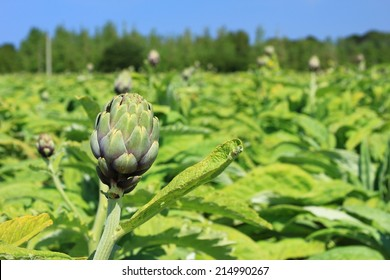 Field with artichokes (Cynara cardunculus, Cynara scolymus) in the north of Brittany, Finistere, France
