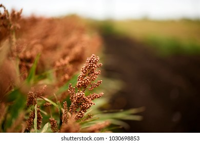 Field of Australian sorghum during the day time.