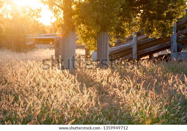 Field Back Lit Pennisetum Fountain Grass Stock Photo Edit Now
