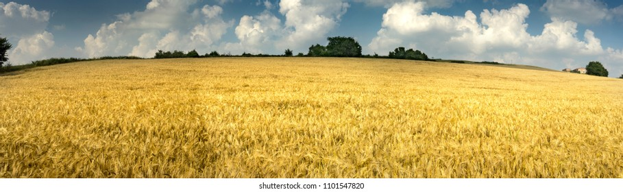 field of barley ears