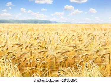 Field barley in period harvest on background cloudy sky