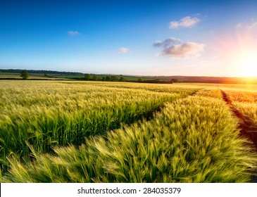 A field of barley ripening in the sun