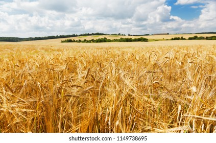 Field of barley in a summer day. Harvesting period.
