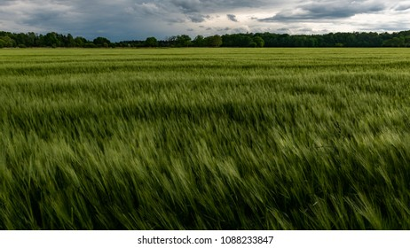 Field of Barley Swaying in the Wind