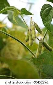 field beans soybeans in early autumn