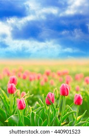 Field of beautiful blooming tulips