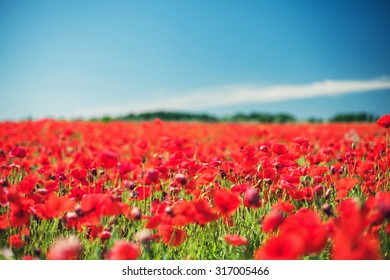 Field with beautiful blossoming red poppies