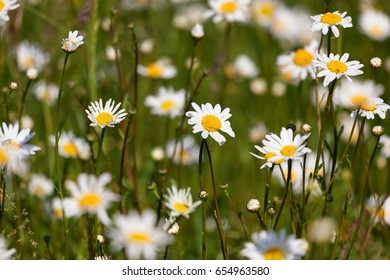 Field of beautiful daisies with space for text. Selective focus.