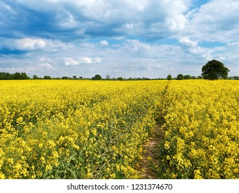 Field with beautiful flowering yellow plants. Countryside at sunny summer day