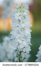 Field with beautiful flowers. White delphinium flowers in organic garden. White delphinium flowers. Blooming Delphinium double flowers