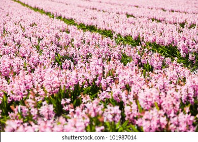 Field of beautiful pink hyacinths in Holland.