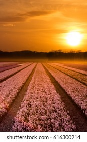 Field of beautiful pink Hyacinths at sunset in Holland