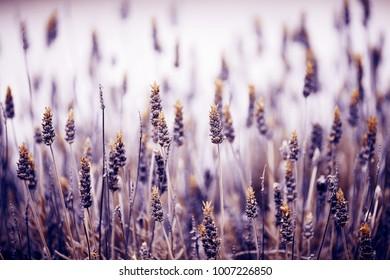 Field of the beautiful purple lavender flowers