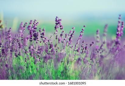 Field of beautiful purple lavender flowers